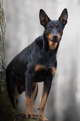 iPhone Wallpaper Black dog, forest, bokeh