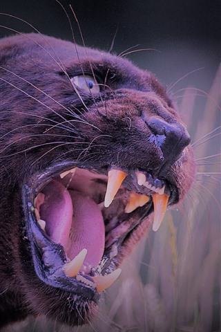 iPhone Wallpaper Black panther, angry, teeth