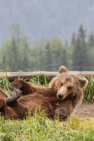 iPhone Wallpaper Brown bear play on the grass