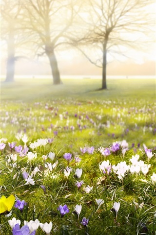 iPhone Wallpaper Crocuses, flowers, blossom, spring