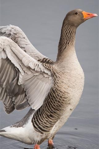 iPhone Wallpaper Goose, wings, water, lake
