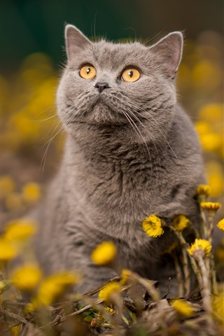 iPhone Wallpaper Gray cat, orange eyes, yellow flowers