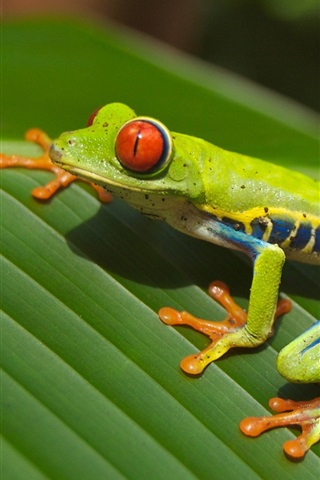 iPhone Wallpaper Green frog, leaf