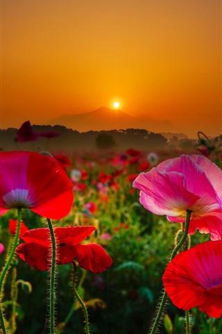 iPhone Wallpaper Japan, Mount Tsukuba, red and pink poppies, sunrise, morning