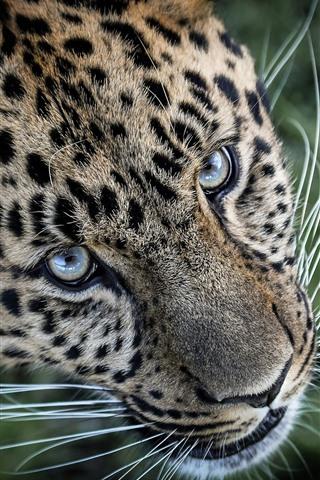 iPhone Wallpaper Leopard, face, eyes, whisker