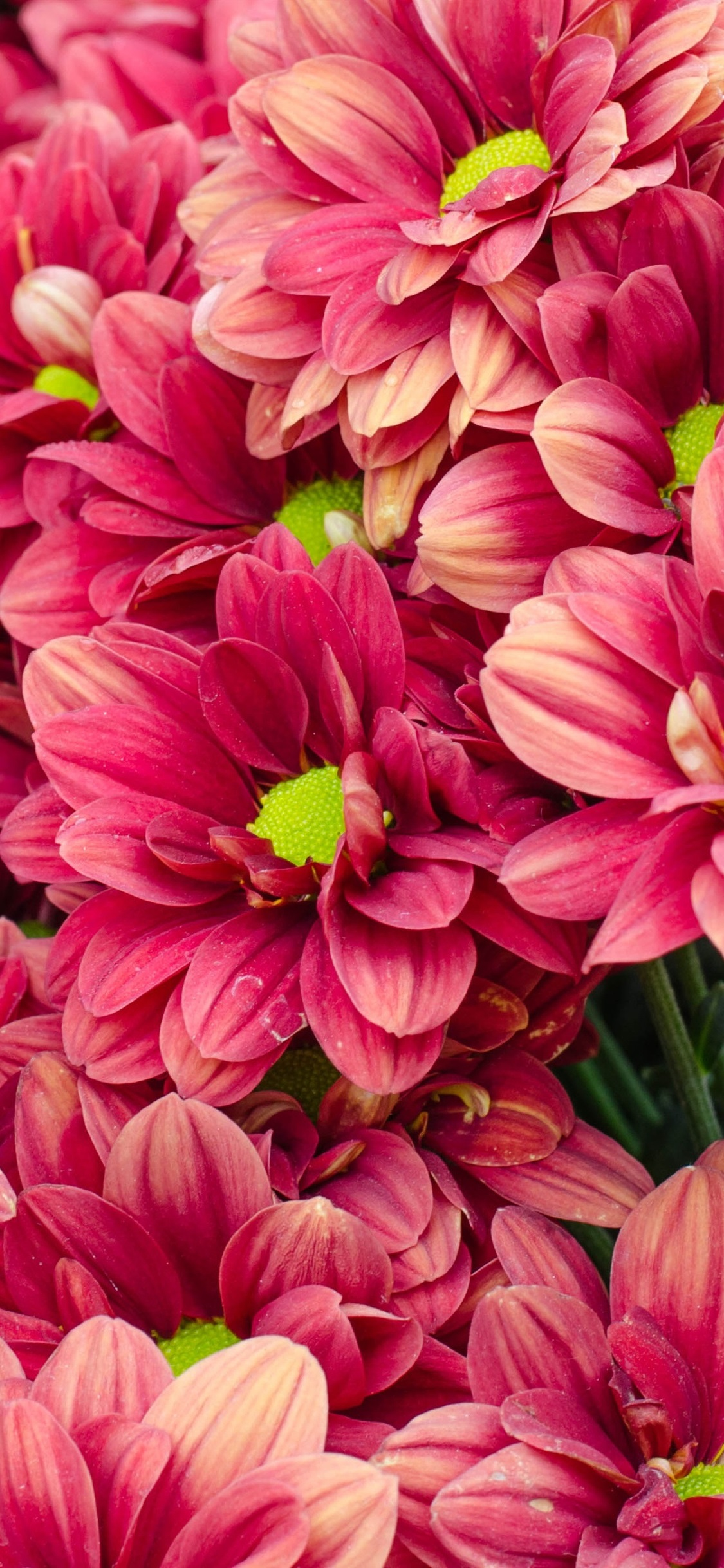 Muchos Crisantemos Rojos Flores 1125x2436 Iphone Xs X Fondos De
