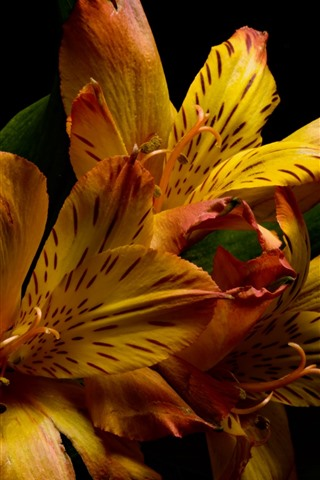 iPhone Wallpaper Orange lilies, black background