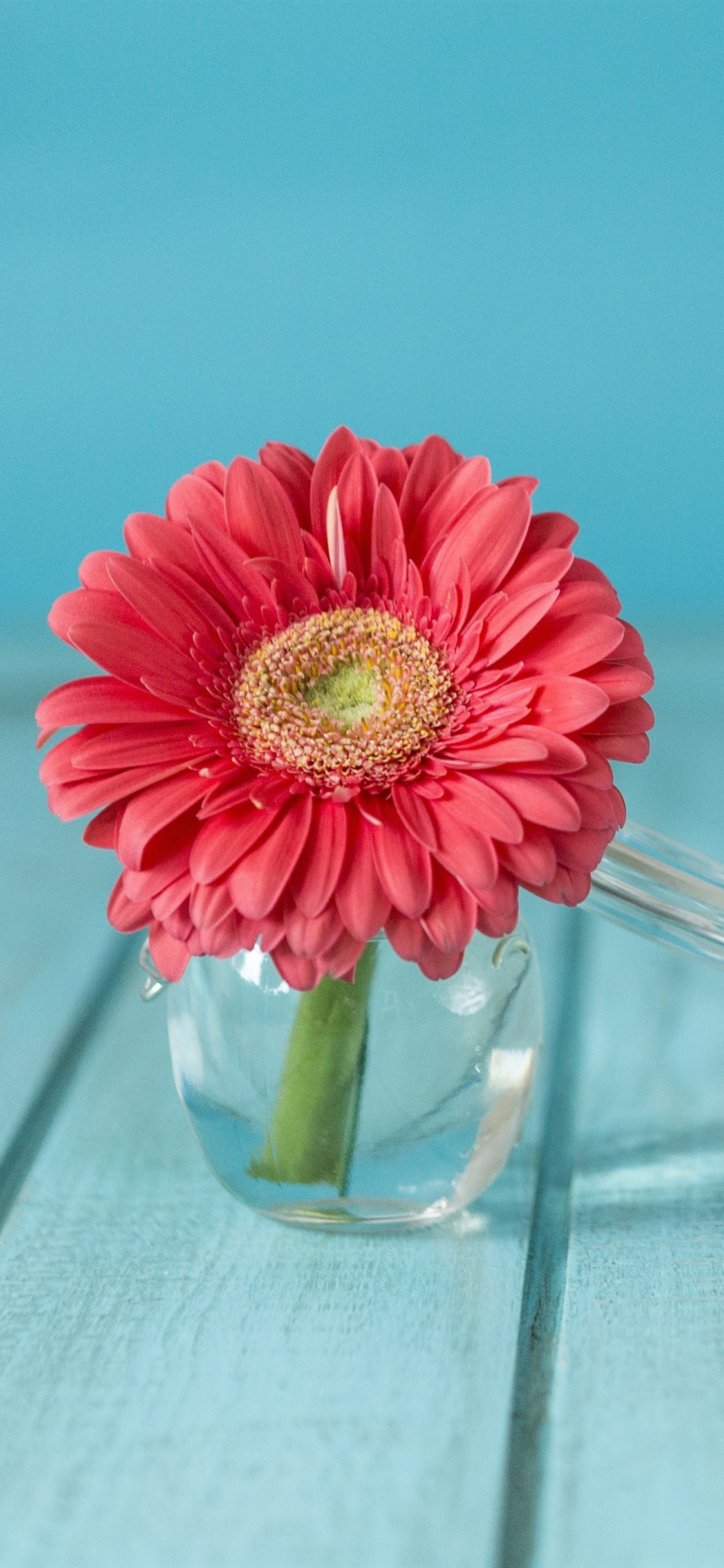 ピンクガーベラの花 ガラスの花瓶 1125x2436 Iphone 11 Pro Xs X 壁紙 背景 画像