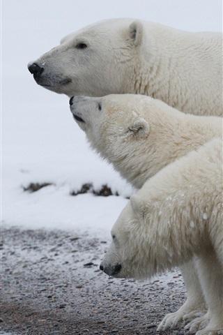 iPhone Wallpaper Polar bear family, snow, cold