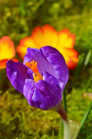 iPhone Papéis de Parede Açafrão roxo, flores da primavera