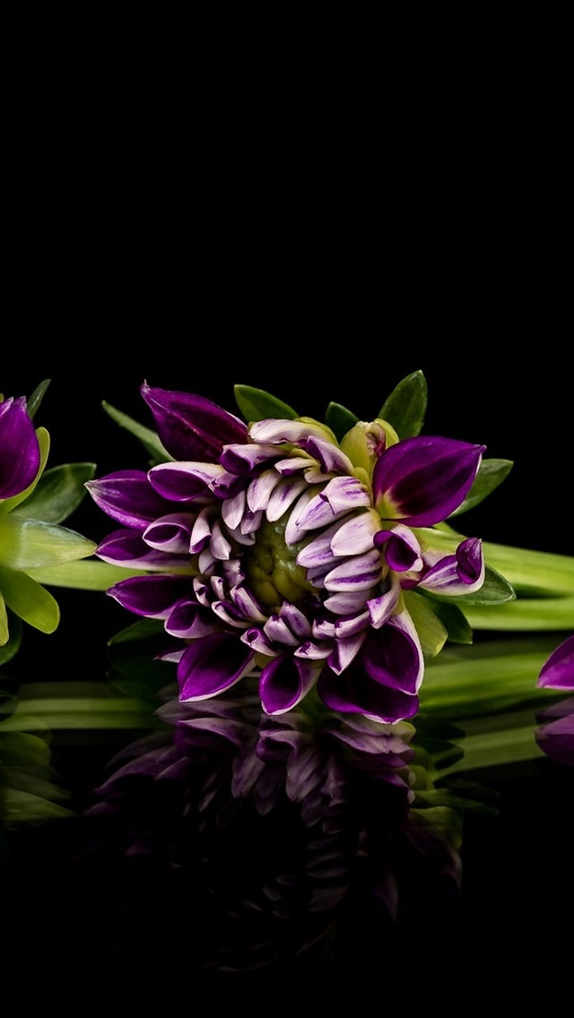 ad0e0fbe65a Dalia púrpura, flores, fondo negro 640x1136 iPhone 5/5S/5C/SE Fondos ...