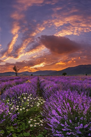Purple Lavender Flowers Mountains Clouds Sunset 750x1334 Iphone 8