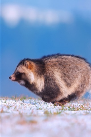 iPhone Wallpaper Raccoon dog running, snow, winter