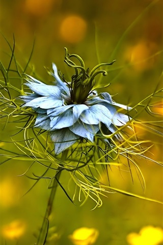 iPhone Wallpaper Ranunculaceae, Nigella damascena, blue petals