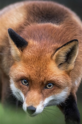 iPhone Wallpaper Red fox, look, blurry background
