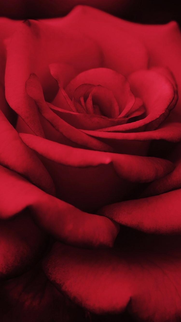Red rose macro photography petals black background - Red rose petals wallpaper ...