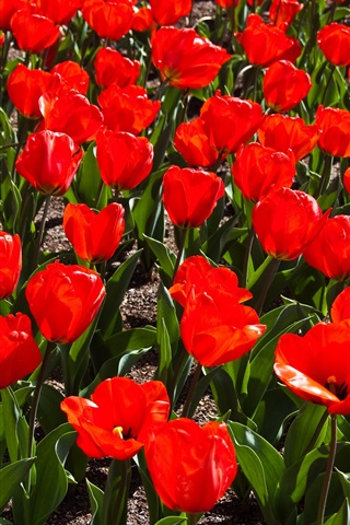 iPhone Wallpaper Red tulips field, spring