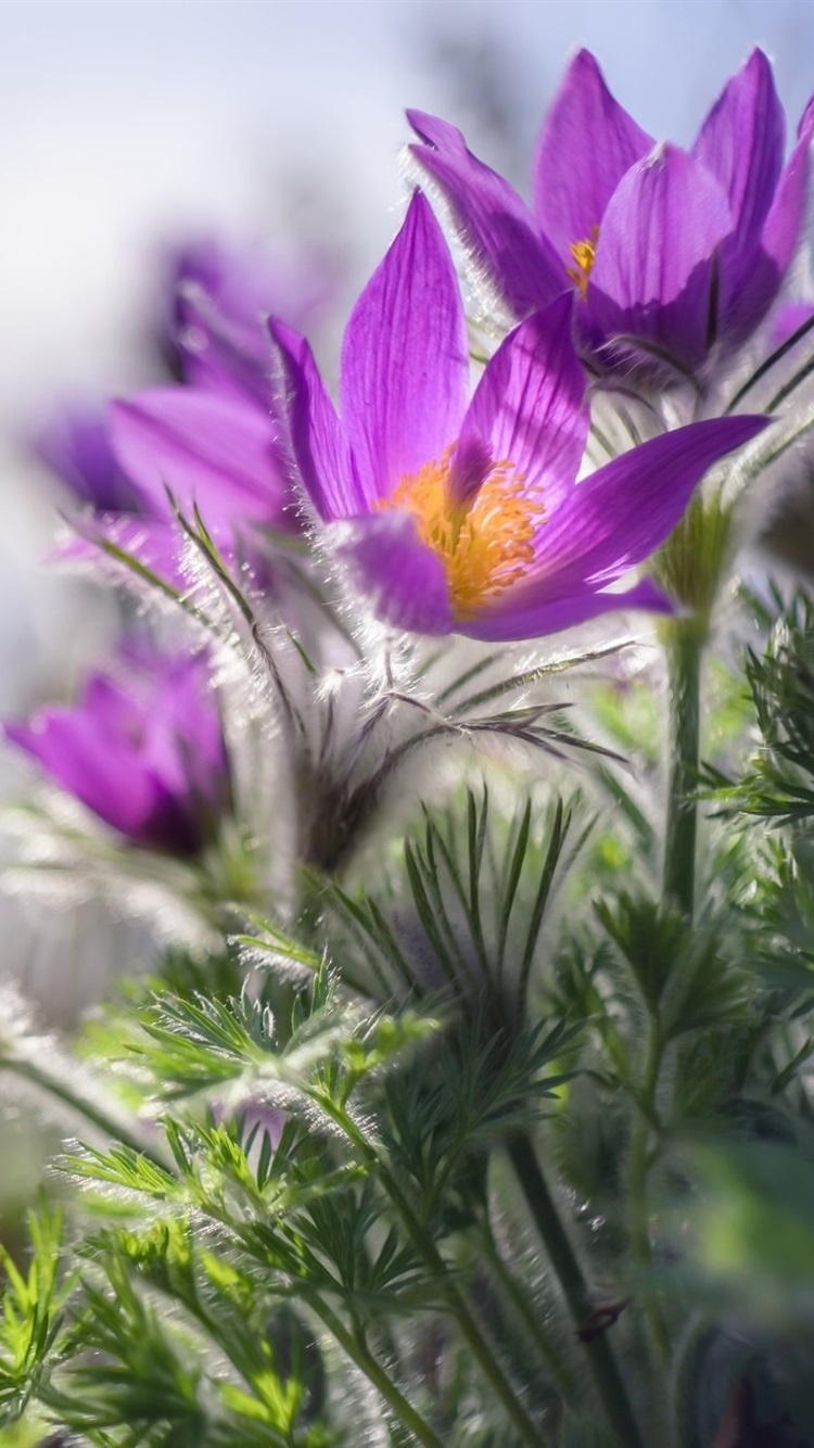 Sleep Grass Spring Purple Flowers 750x1334 Iphone 8 7 6 6s Wallpaper Background Picture Image