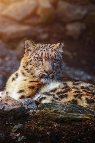 iPhone Wallpaper Snow leopard rest, predator