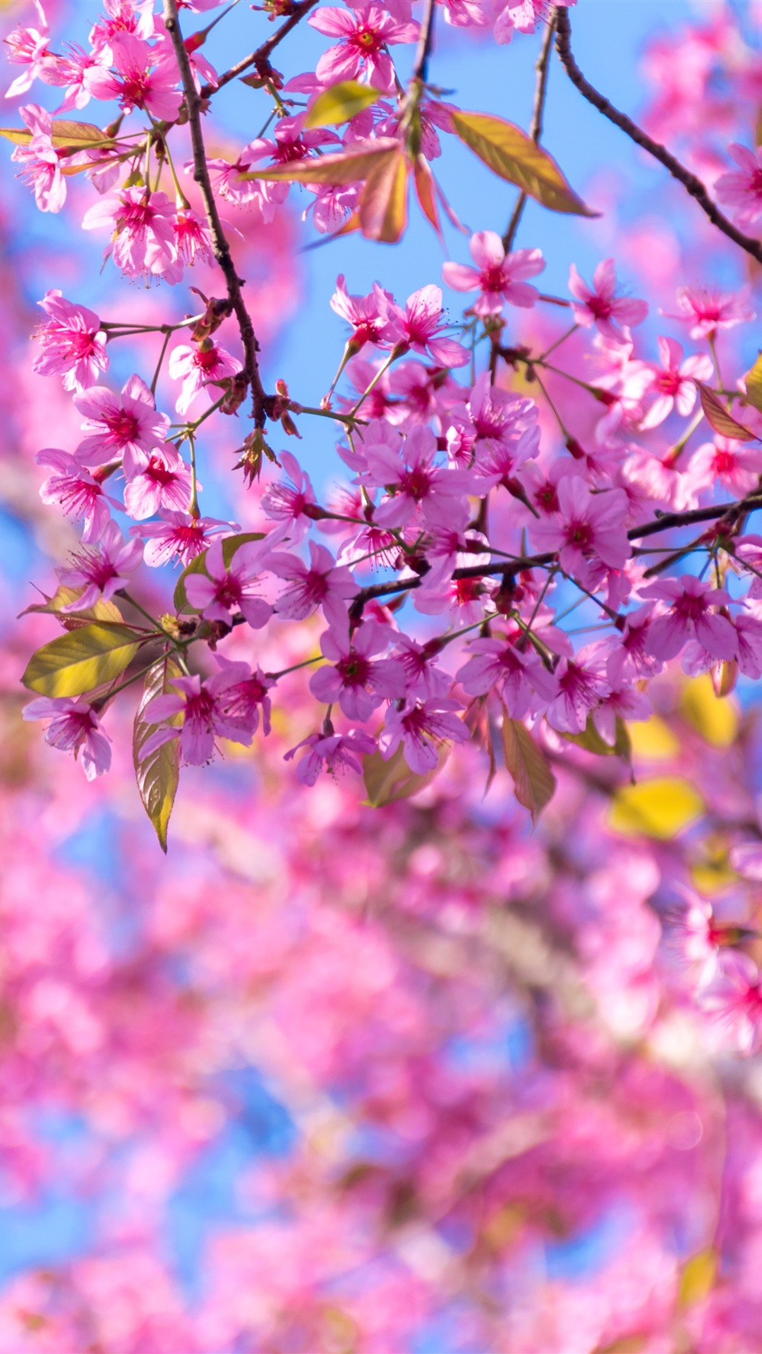 100 Wallpaper Iphone 6s Sakura Hinhanhsieudep Net