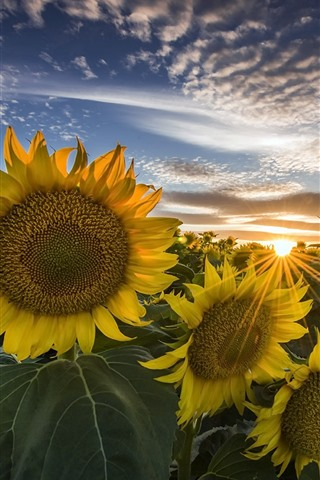 iPhone Wallpaper Sunflowers, sunrise, summer