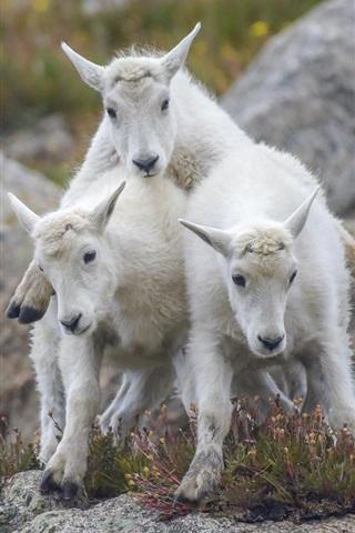 iPhone Wallpaper Three goats