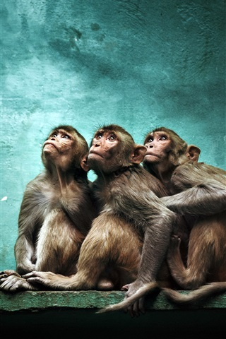 iPhone Wallpaper Three monkeys look up