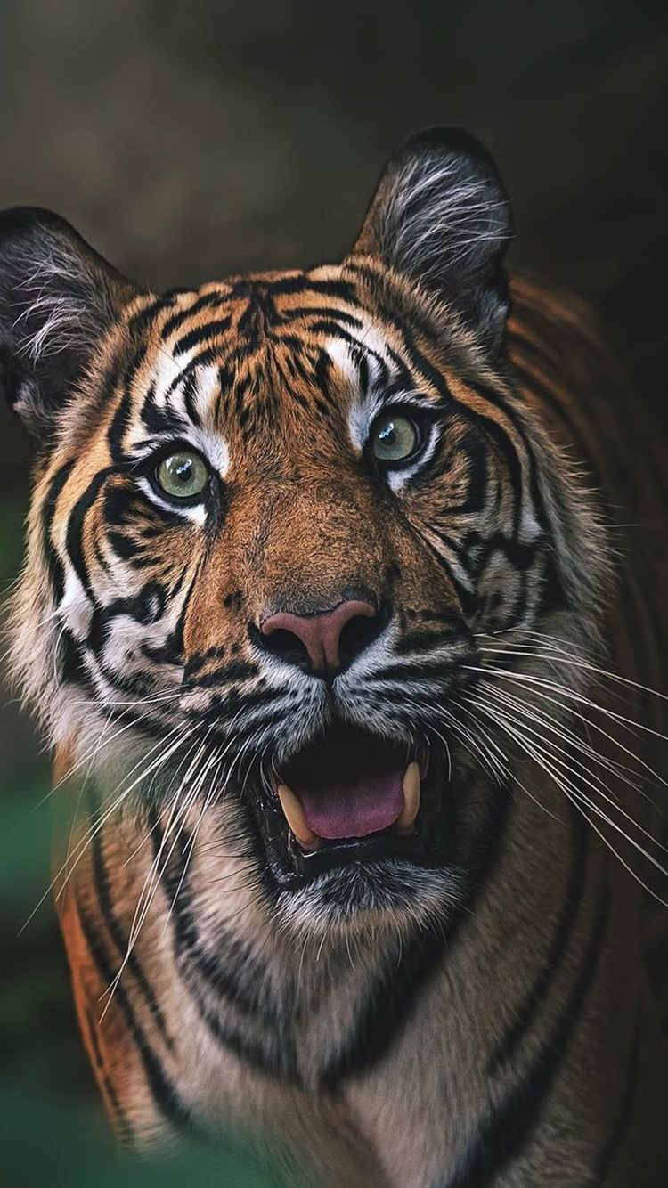 Tiger Front View Face Roar 750x1334 Iphone 8 7 6 6s