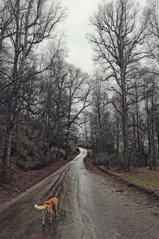 iPhone Wallpaper Trees, wet road, dog