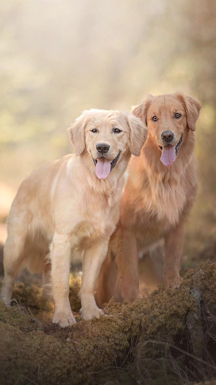 Fondos De Pantalla Dos Perros Golden Retriever 1920x1200 Hd