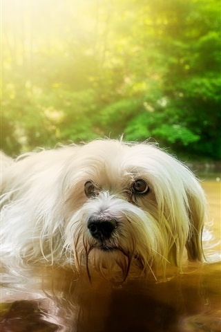 iPhone Wallpaper White furry dog in water, pond, trees