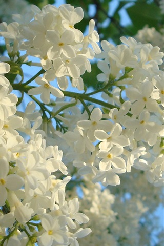 iPhone Wallpaper White lilac flowers, spring