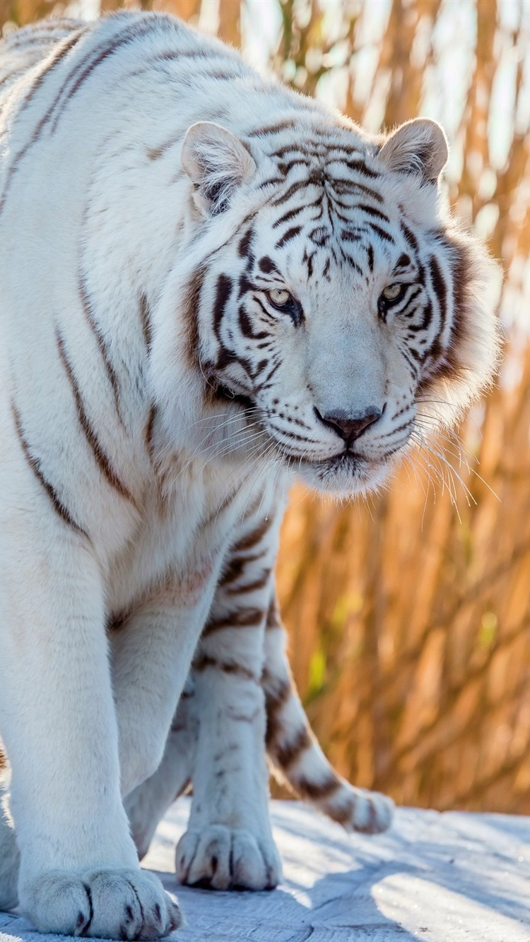 White Tiger Walk To You 750x1334 Iphone 8766s Wallpaper