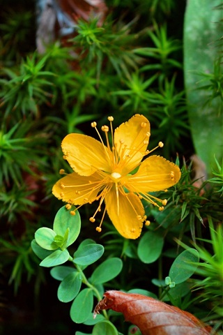 iPhone Wallpaper Yellow flower, green leaves, plant