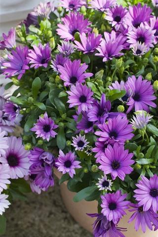 iPhone Wallpaper Beautiful purple flowers, osteospermum