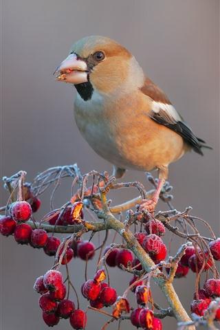 iPhone Wallpaper Bird, red berries, frost, cold