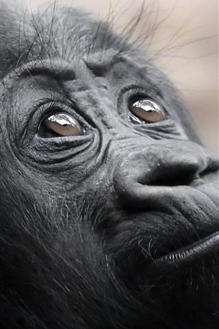 iPhone Wallpaper Black monkey look up