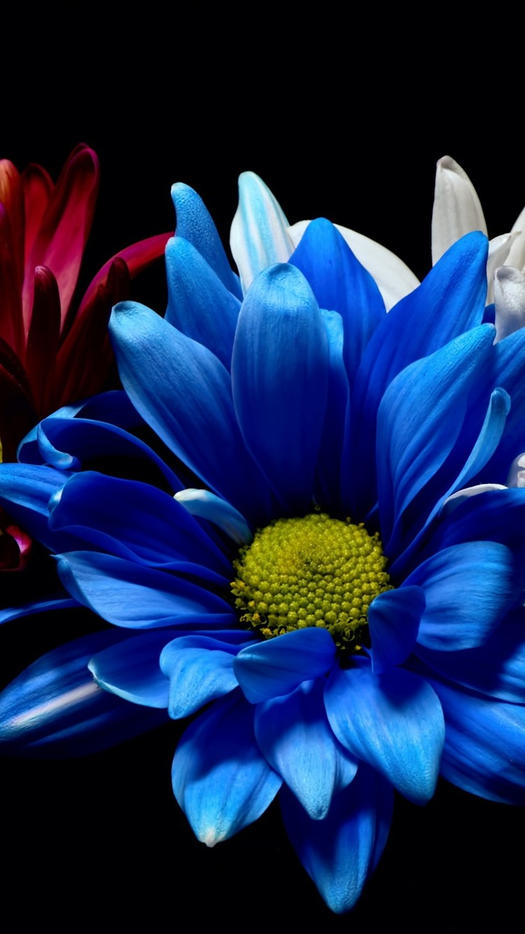 Blue White And Red Gerbera Flowers Black Background 750x1334 Iphone