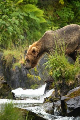 iPhone Wallpaper Brown bear look at creek