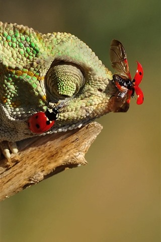 iPhone Wallpaper Chameleon catch insect