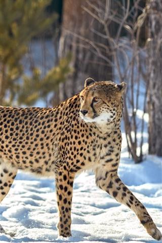 iPhone Wallpaper Cheetah, look back, snow, winter