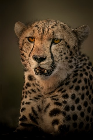 iPhone Wallpaper Cheetah, predator, darkness