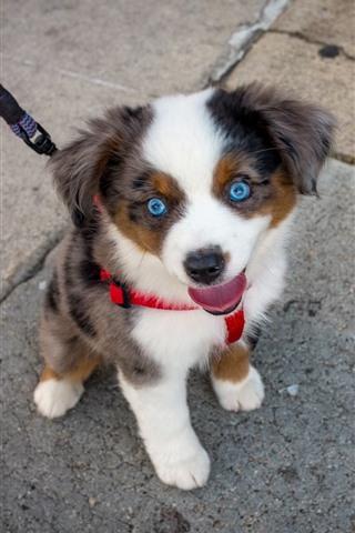 iPhone Wallpaper Cute blue eyes puppy, pet