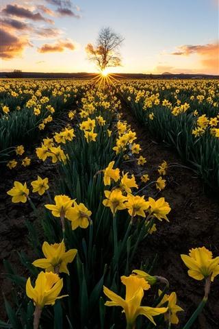 iPhone Wallpaper Daffodils, yellow flowers, fields