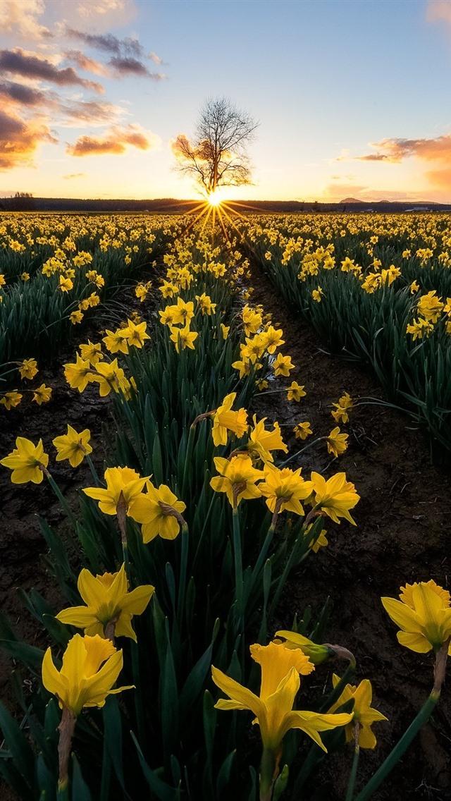 wallpaper daffodils yellow flowers fields 1920x1200 hd picture image wallpaper daffodils yellow flowers