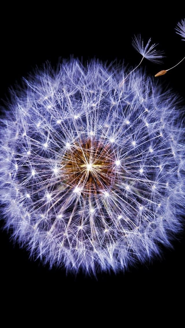 Dandelion Beautiful Flower Black Background 750x1334 Iphone 8 7 6 6s Wallpaper Background Picture Image