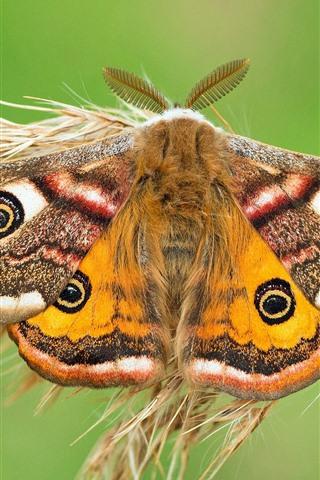 iPhone Wallpaper Emperor moth, butterfly, grass
