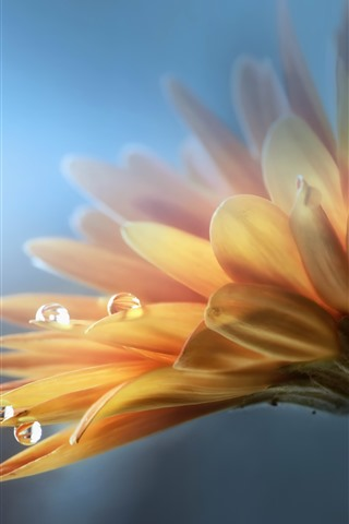iPhone Wallpaper Gerbera, yellow flower, petals, water drops