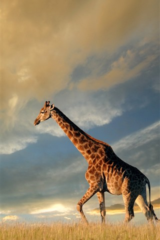 iPhone Wallpaper Giraffe, nature, grassland