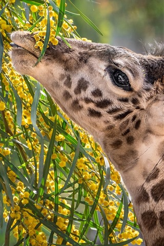 iPhone Wallpaper Giraffe, neck, food, flowers